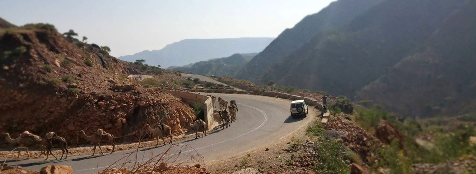 Winding road with camels